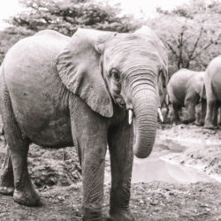 An Elephant At DSWT In Kenya